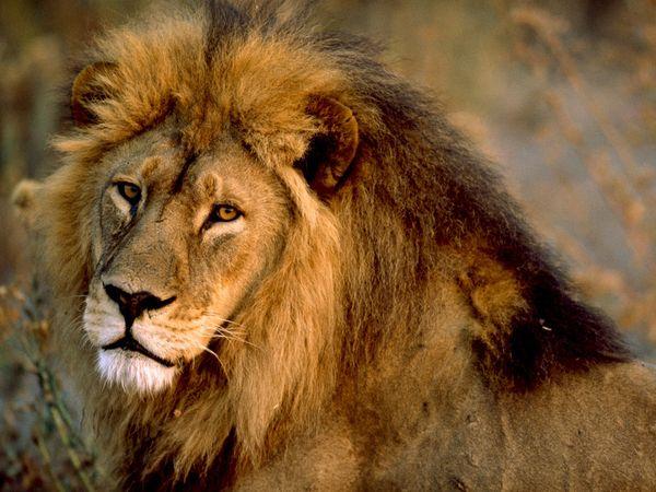 lion-afrique-savane