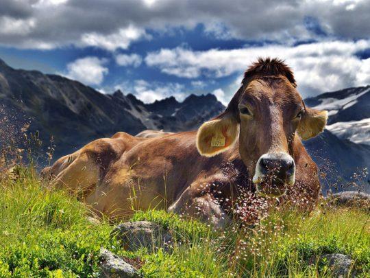 vache-vosges